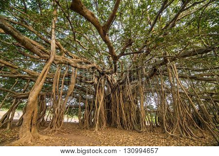 Tree of Life, Amazing Banyan Tree.