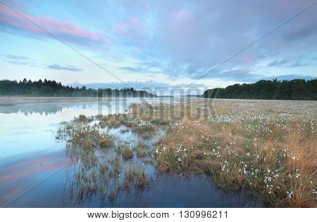 swamp with plenty cotton-grass at sunrise Drenthe Netherlands