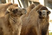 picture of two funny looking dromedary camels. poster