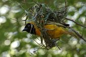 a weaver bird builds a typical nest in pilansburg south africa. poster