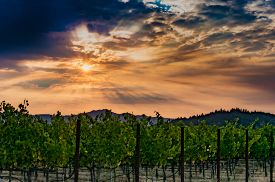 Napa Valley sunrise in the vineyard during harvest