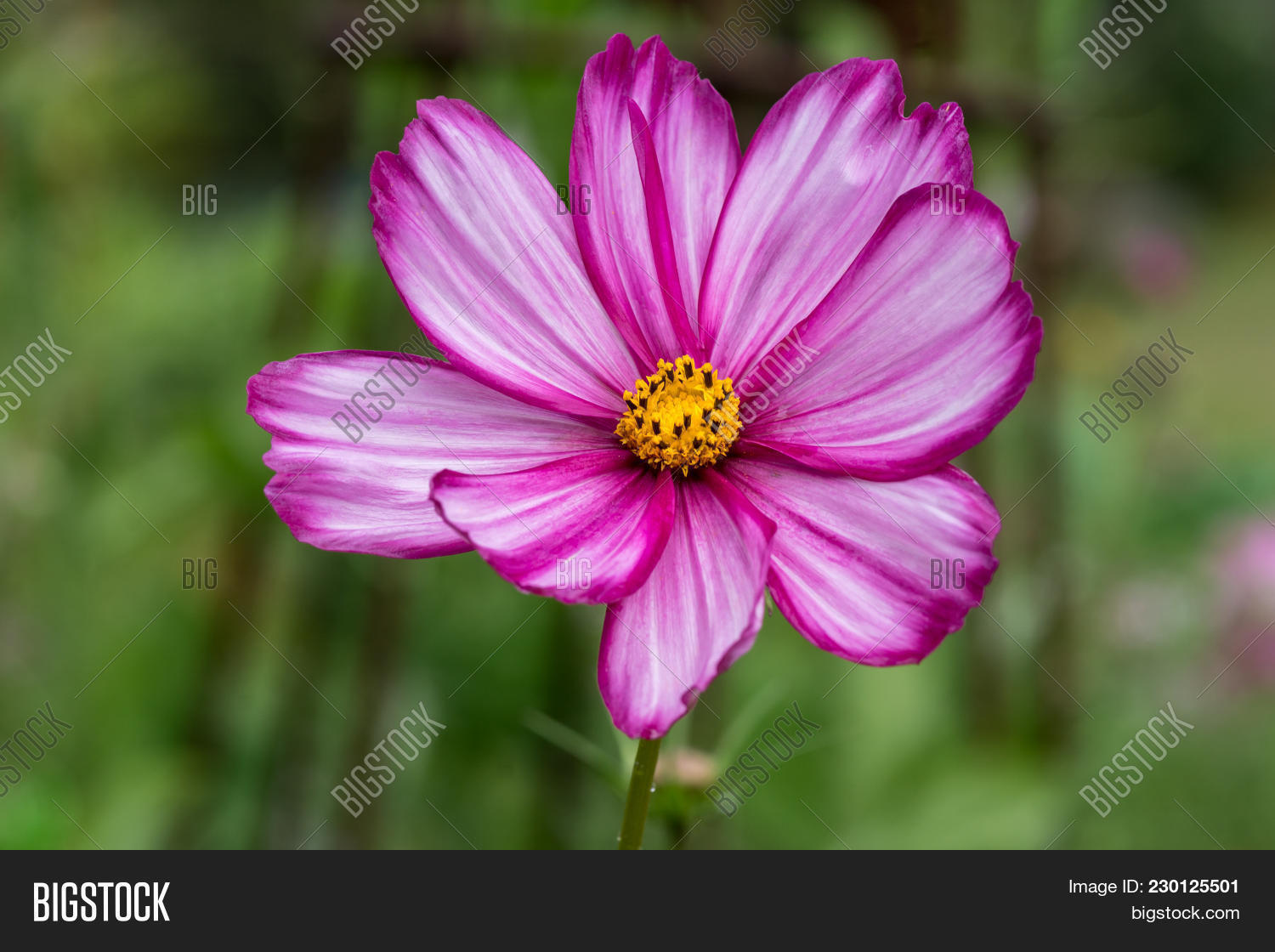 Closeup beautiful image photo free trial bigstock closeup of a beautiful sonata flower with pink and white striped petals and yellow center button mightylinksfo