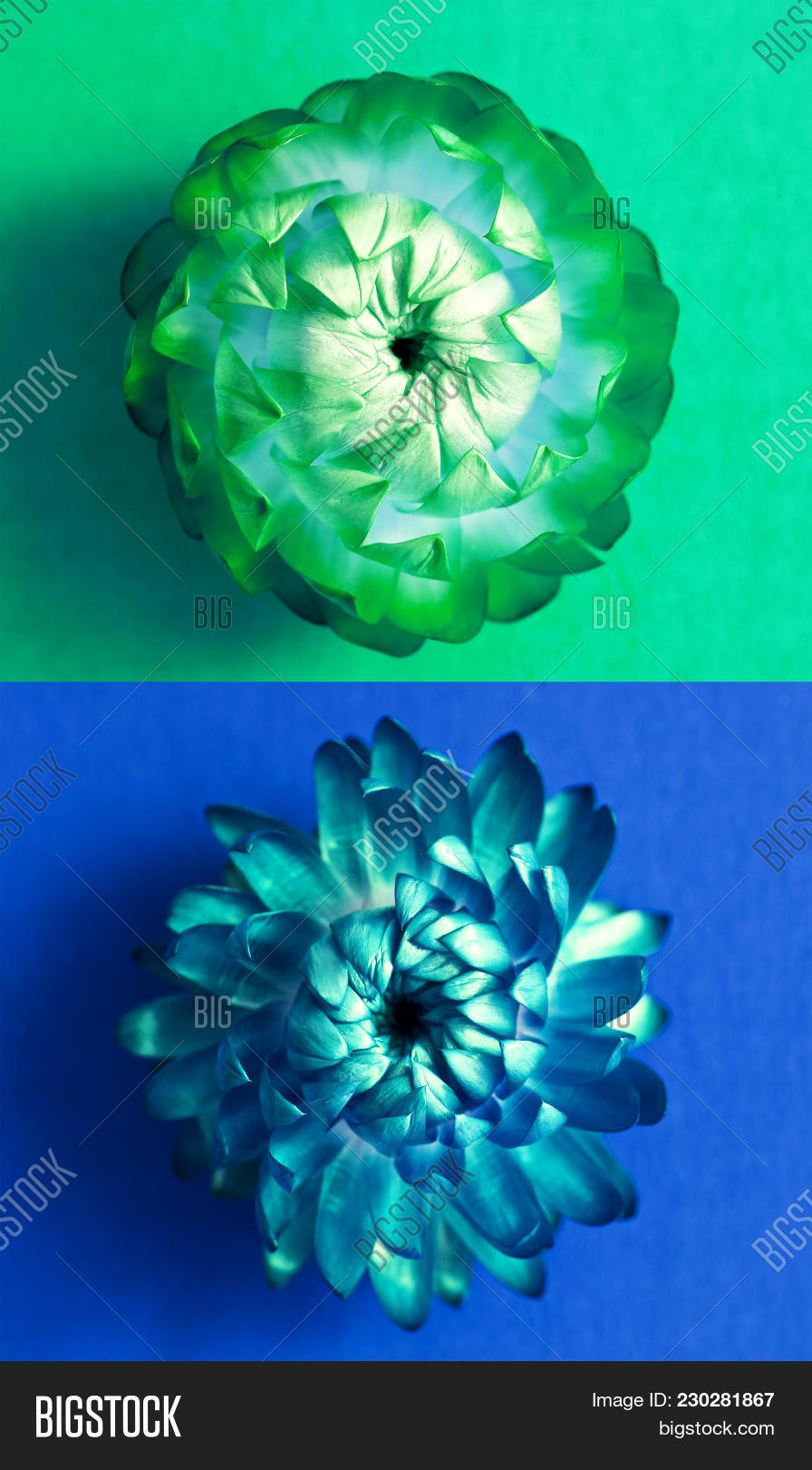Two blossoms image photo free trial bigstock two blossoms of everlasting flowers strawflowers green flower head and blue flower head izmirmasajfo