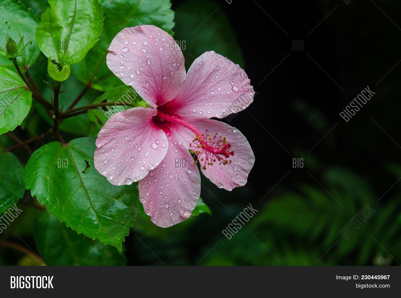 Pink Hibiscus Flower Image Photo Free Trial Bigstock