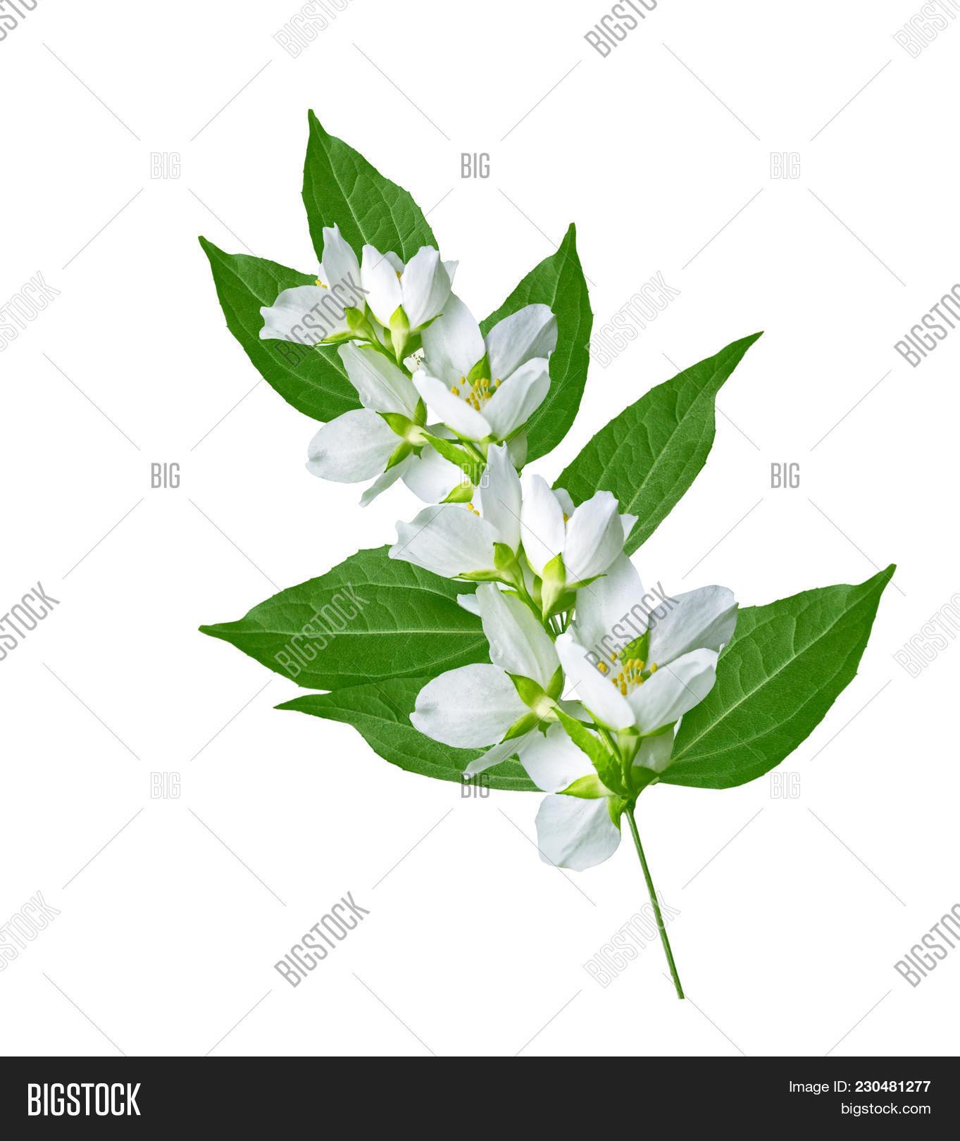 Branch jasmine flowers image photo free trial bigstock branch of jasmine flowers isolated on white background izmirmasajfo