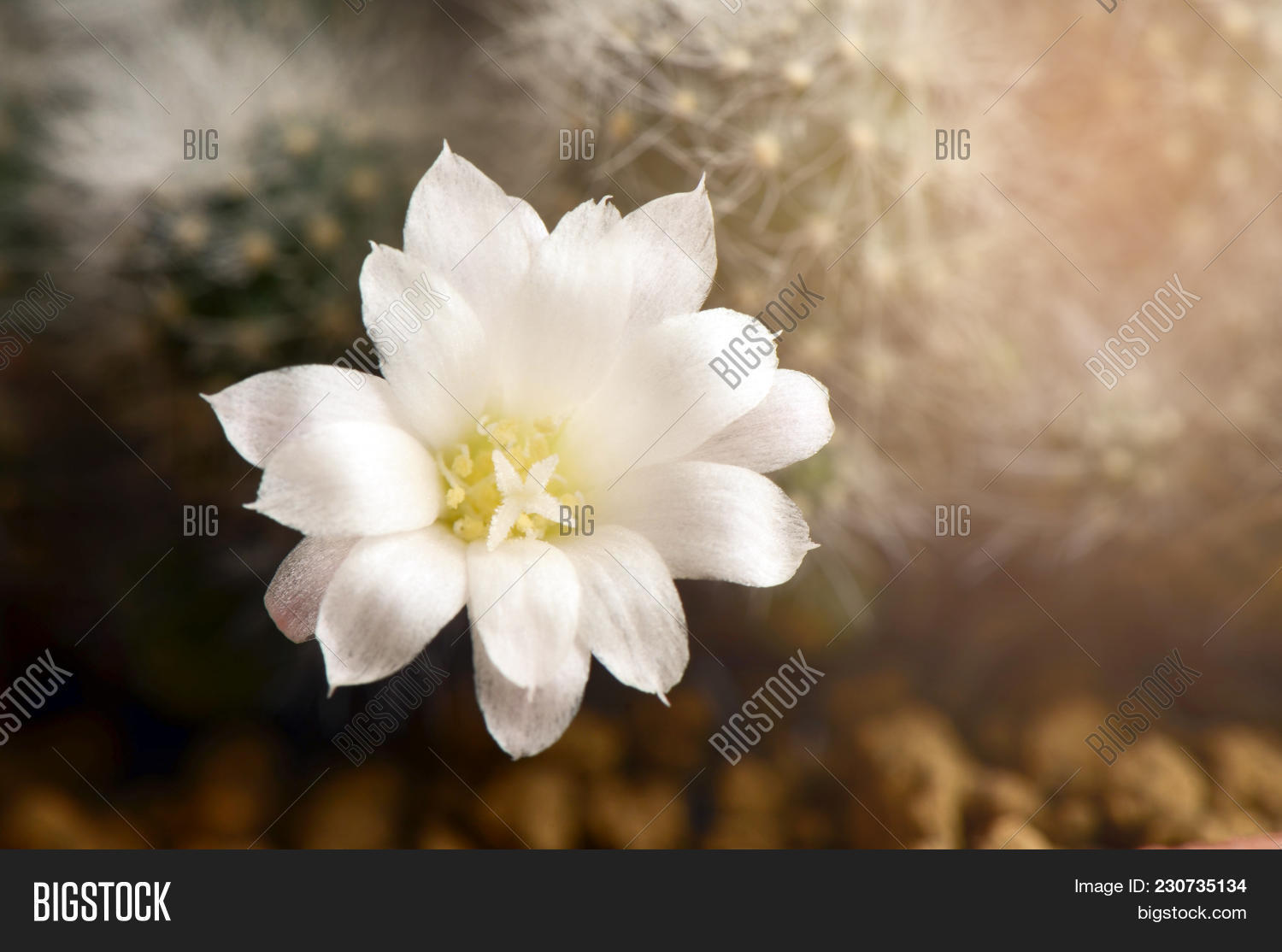 White Cactus Flower Image Photo Free Trial Bigstock
