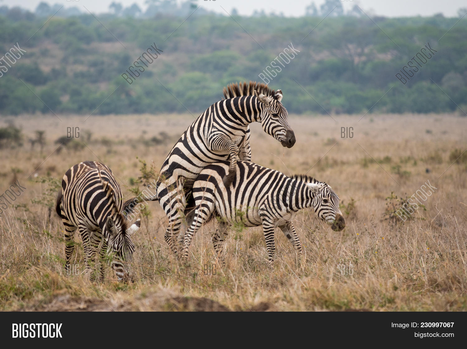 Two Zebras Mating Open Image Photo Free Trial Bigstock