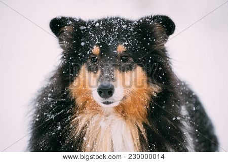 Close View Of Shetland Sheepdog, Sheltie, Collie In Snowy Winter Day.