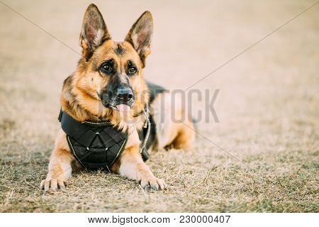 Brown German Sheepdog Alsatian Wolf Dog Wearing In Special Training Clothes Sitting On Ground