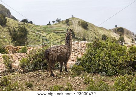 Lama At Isla Del Sol On Lake Titicaca In Bolivia