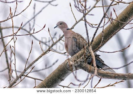 Eaurasian Collared Dove Perched In A Tree.