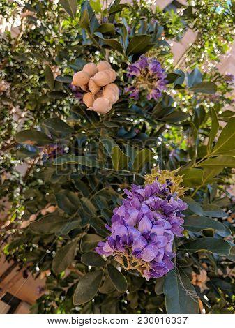 Summer Heat-loving Texas Mountain Laurel (calia Secundiflora, Formerly Sophora Secundiflora) Floweri