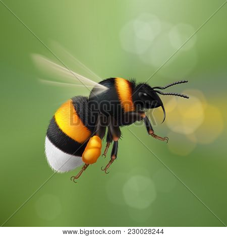 Illustration Of Flying Bumblebee Species Bombus Terrestris Common Name Buff-tailed Bumblebee Or Larg