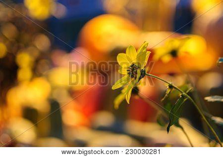 Rudbeckia, Gloriosa Daisy, Golden Daisy, Yellow Daisy Or Yellow Ox-eye Daisy.