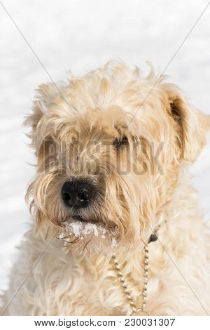 A Cute Irish Wheaten Softcoated  Terrier In A White Winter Day