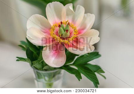 Beautiful White Peony With Yellow And Pink Center In Glass Vase