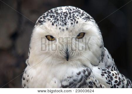 Snowy Owl Particular