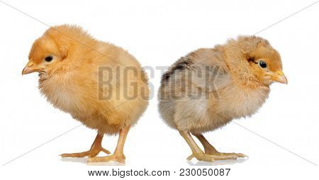 Yellow chicken isolated on a white background