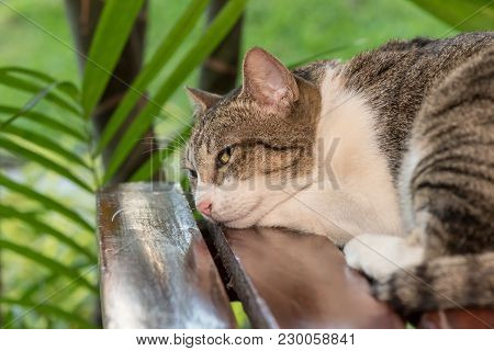 Sleepy Cat, Lovely Animal And Pet In The Garden