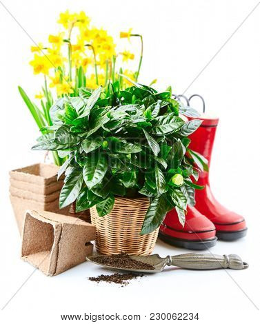 Spring gardening flowers narcissus still life with red boots and garden tools, isolated on white background.