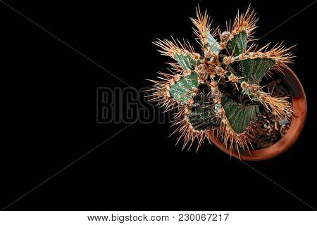 Spiny Cactus With Long Yellow Needles And White Specks, Top View. Plant Isolated On Black Background