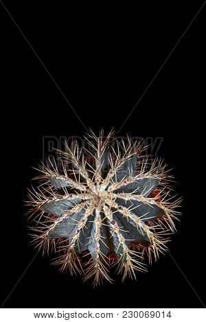 Amazing Cactus Star With Bright Long Spines. Cactus In Form Snowflakes, Blue-and-green Color, Top Vi
