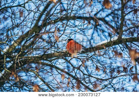 Lonely Beautiful Bullfinch Of Red Color On The Branches Of A Tree