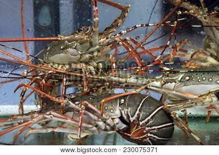 Alive Lobster Inside An Aquarium At A Seafood Market.