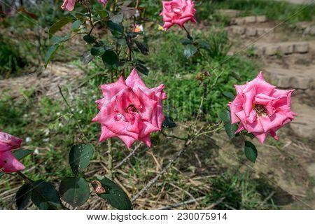 Pink Flower In The Garden With Leaf For Decoration, Thailand Garden