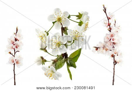 cherry twig in bloom isolated on white