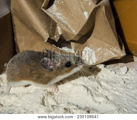 A Wild Brown House Mouse, Mus Musculus, Covered In Flour Standing In Front Of A Crumpled Paper Bag.