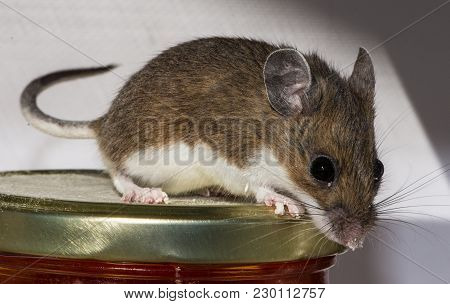 Close Up Side View Of A Wild Brown House Mouse, Mus Musculus, On Top Of A Jar Of Food In A Kitchen C