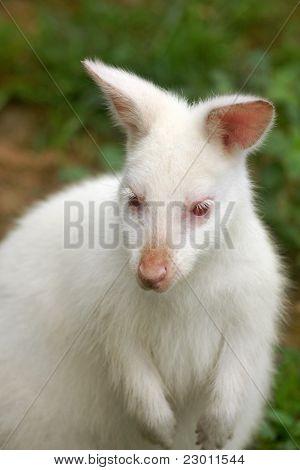 Albino Kangaroo (wallaby)