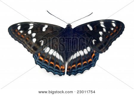 A Close Up Of The Butterfly (limenitis Populi)