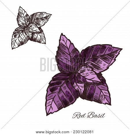 Red Basil Leaf Sketch Icon. Vector Isolated Basil Spice Herb Seasoning For Culinary Cuisine Vegetari