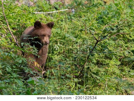 Bear Cub Walks Through Forest Foliage In Wyoming Mountains