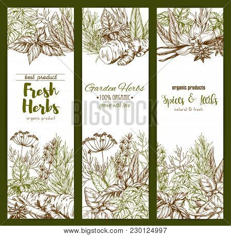 Herbs And Spices Sketch Banners For Organic Herbal Products Or Farm Store Or Market. Vector Oregano