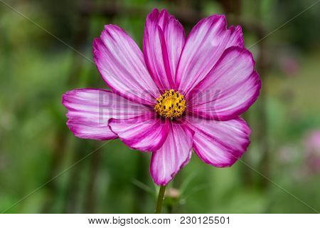 Closeup Of A Beautiful Sonata Flower With Pink And White Striped Petals And Yellow Center Button And