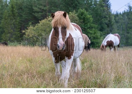 Brown And White Or Pinto Colored Icelandic Horse With A White Blaze, Walking In A Field Of Tall Gras