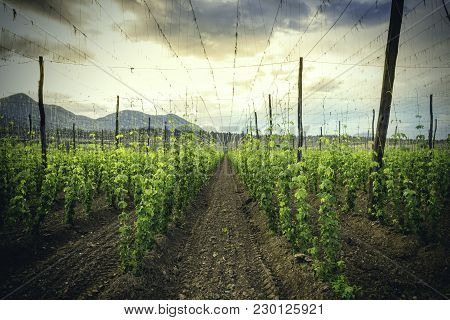 Hops Field - Cloudy Sky. Organic Plantation Of Hops In The Sunset. Ray Of Light.