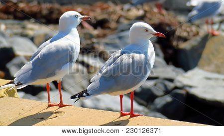 Australian Gulls Or Seagulls Are Seabirds Of The Family Laridae