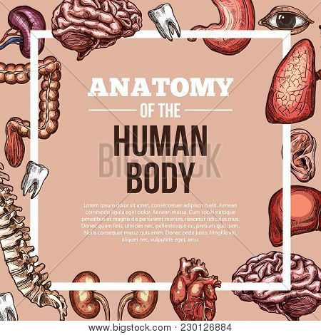 Human Body Anatomy Sketch Vector Poster Of Internal Organs Of Digestive, Respiratory And Vital Syste