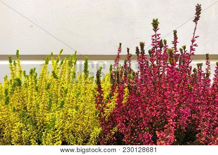Flowering Very Beautiful Red And Yellow Heather Calluna Vulgaris Ericaceae On A Background The Bark