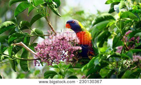 Rainbow Lorikeet (trichoglossus Moluccanus) Is A Species Of Parrot