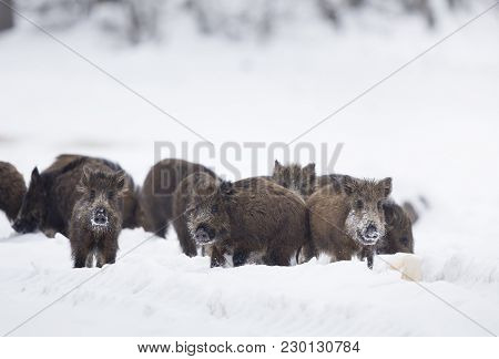 Group Of Wild Boar Piglets On Snow