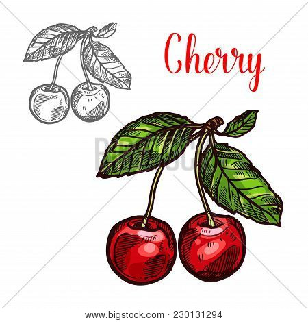 Cherry Fruit Sketch Icon. Vector Isolated Symbol Of Fresh Farm Grown Cherries Bunch With Green Leaf