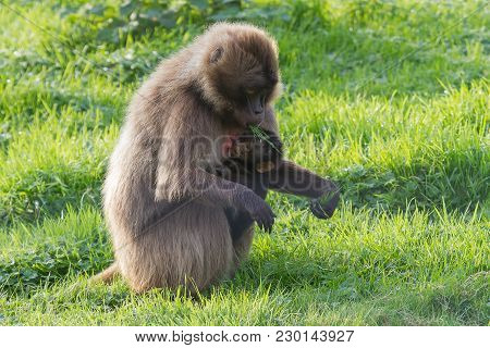 Photo Of A Mother Gelada Baboon With Her Baby Suckling