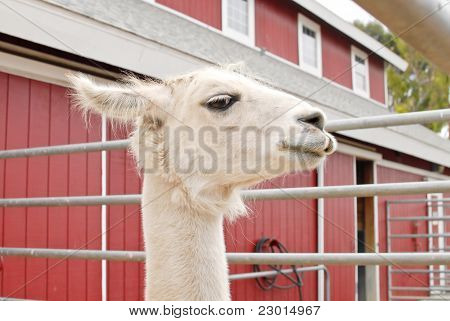 Side Profile Of Llama