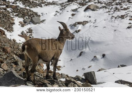 Young Alpine Ibex (mountain Goat) On The Rocks In The Meadows, Mount Blanc, France