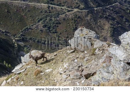 An Old Alpine Ibex (mountain Goat) With One Horn On The Rocks In The Meadows, Mount Blanc, France